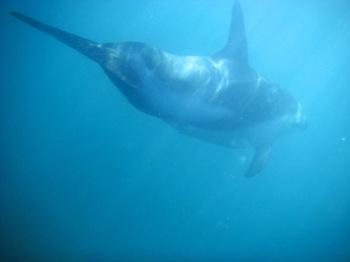 Dolphin_swimming2